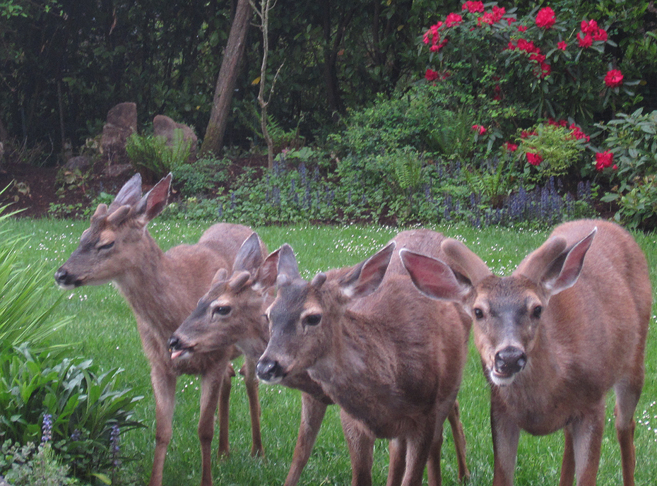Lummi Island deer babies - the new gang in town